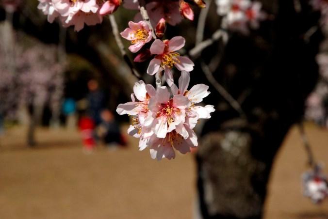 quinta molinos madrid amendoeiras flor primavera almendros